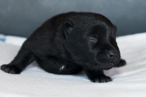 Ayu-Litter1-Day05-Puppy1-Female-c