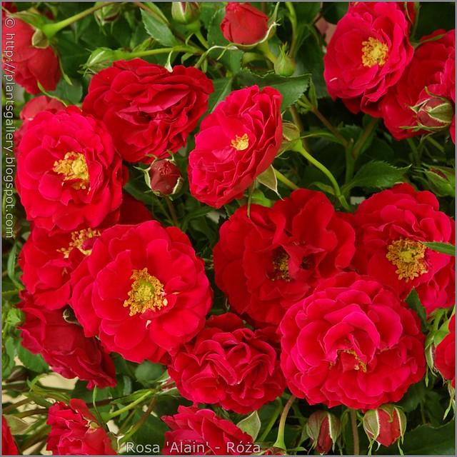 Rosa 'Alain' - Róża 'Alain'