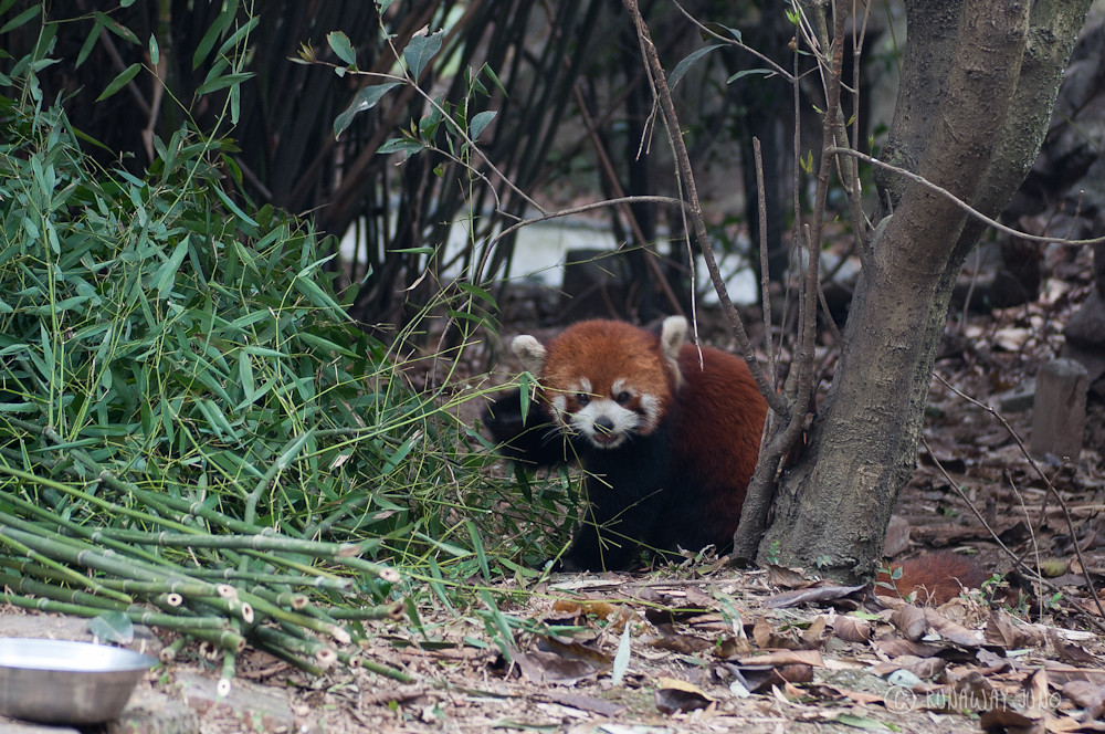 Red_Panda_Eating_Chengdu_Sichuan_China