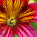 Salpiglossis sinuata by Meighan