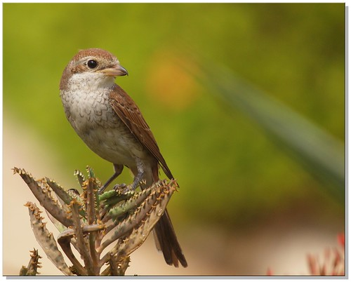 Red backed Shrike, Explore 27/10/2011.