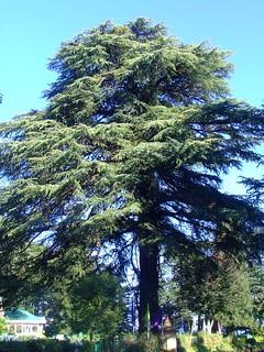 Deodar tree Cedrus deodara Pinaceae 2011_09_24 Kinnaur2_0345