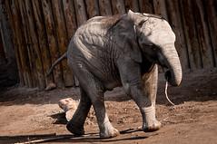 zuri the baby elephant