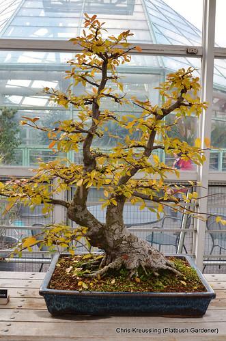 Acero bonsai forum giardinaggio for Bonsai comprare