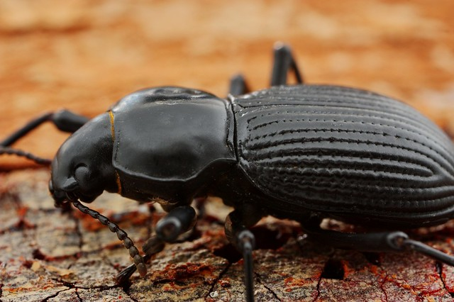 the big black beetle | Flickr - Photo Sharing!