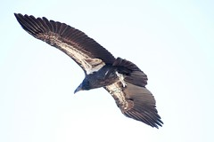 animal, hawk, bird of prey, falcon, wing, vulture, fauna, buzzard, accipitriformes, kite, beak, bird, flight,