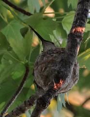 hummingbird on nest