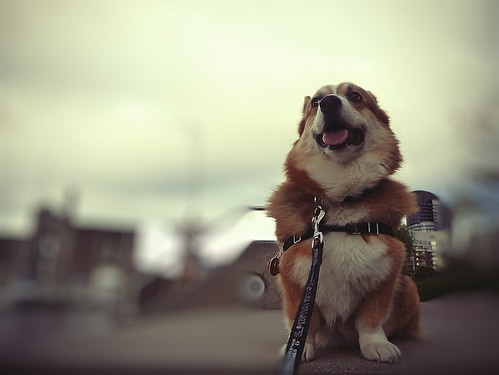 blue sky dog brown white toronto ontario canada black green water blurry corgi waterfront bokeh steps tan cream panasonic hund honey pointandshoot welsh leash alienskin canadamaltingcompany pembrocke dmctz5 morningdewphotography clydesfriends pembrockewelshcorgi