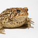Eastern American Toad - Photo (c) Brian Gratwicke, some rights reserved (CC BY)