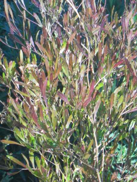Dodonaea viscosa 'Purpurea' v 1