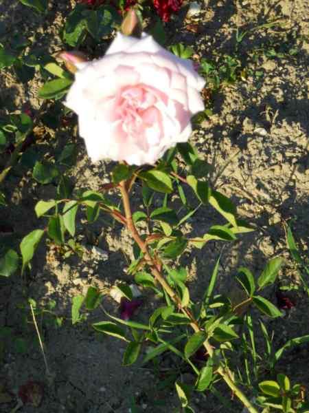 Rosa centifolia v 4