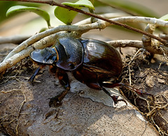 wasp(0.0), japanese rhinoceros beetle(0.0), membrane-winged insect(0.0), animal(1.0), invertebrate(1.0), insect(1.0), macro photography(1.0), fauna(1.0), dung beetle(1.0), close-up(1.0), wildlife(1.0),