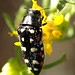 Yellow-marked Buprestids - Photo (c) Margarethe Brummermann, some rights reserved (CC BY-NC-SA)