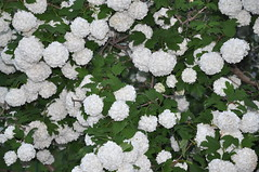 shrub, flower, guelder rose, plant,