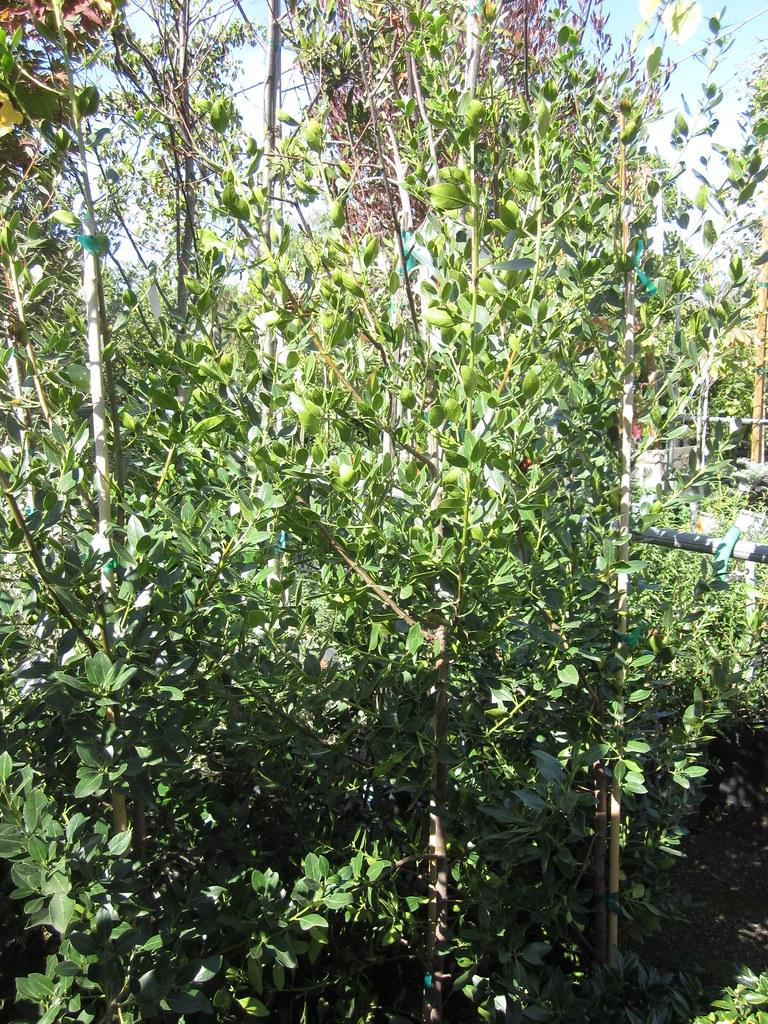 Picture of Live Italian buckthorn aka Rhamnus 'John Edwards' Shrubs Plant Fit 1 Gallon Pot