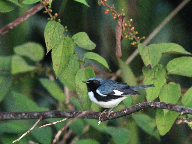 Black-throated Blue Warbler in Trema 20111020