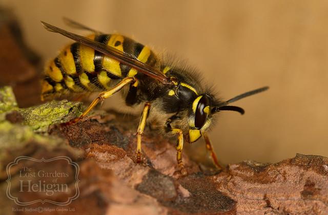Queen wasp - Vespula vulgaris | Flickr - Photo Sharing!Queen Wasp
