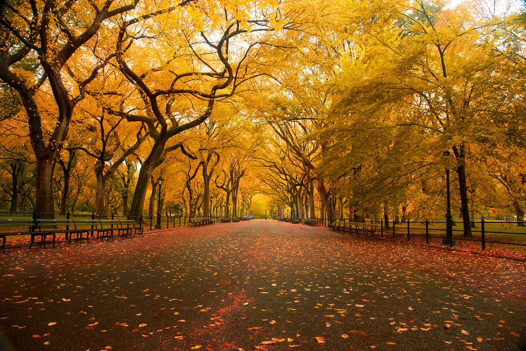 'American Elm', United States, New York, New York City, Central Park, Mall Area, Fall Colors