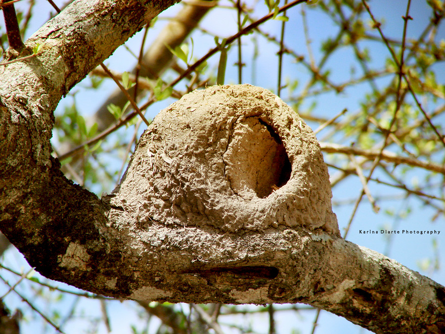 Rufous Hornero Nest