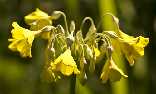 Yellow Drop Blooms - Copyright R.Weal 2011