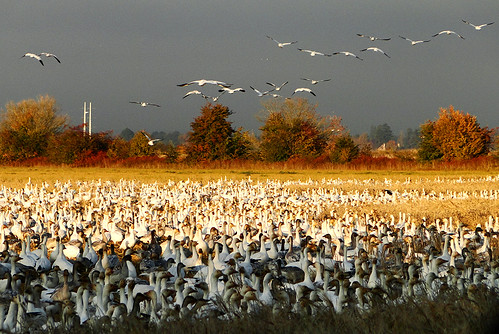 The Annual Migration of Snow Geese