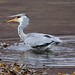 Grey Heron & Fish