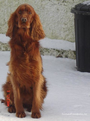 Tue, Nov 15th, 2011 Lost Female Dog - The Local Area, Herbertstown, Limerick