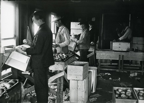 Packing apples in the OAC packing house, 1910