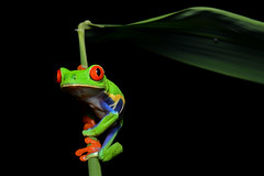 [Free Images] Animals 2, Amphibian, Frogs, Red Eyed Tree Frog ID:201111231600