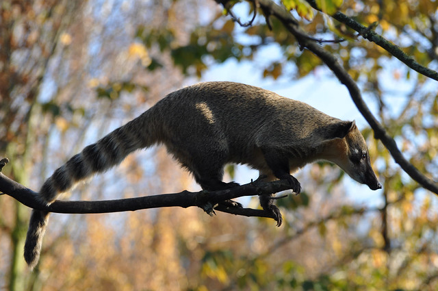 Coati On Branch 2