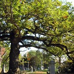 The Oldest Tree in Spring Grove Cemetery