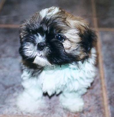 shih_tzu_puppy-209645
