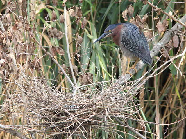Green Heron at nest with eggs HT tree 4 20120327