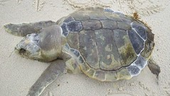 animal, turtle, reptile, loggerhead, fauna, common snapping turtle, emydidae, sea turtle, tortoise,