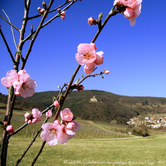 Almondflowering at the Vinestreet - Mandelblüte an der Weinstrasse