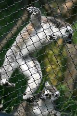 Ring-tailed Lemur - 22