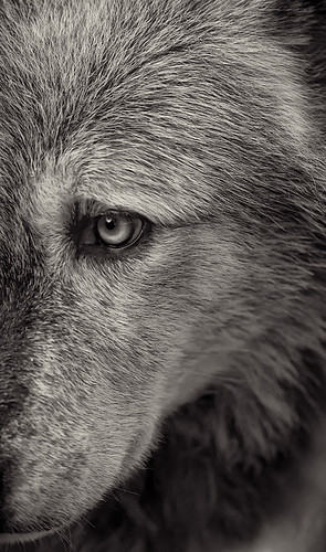 Wolf 3  by Dan Newcomb Photography