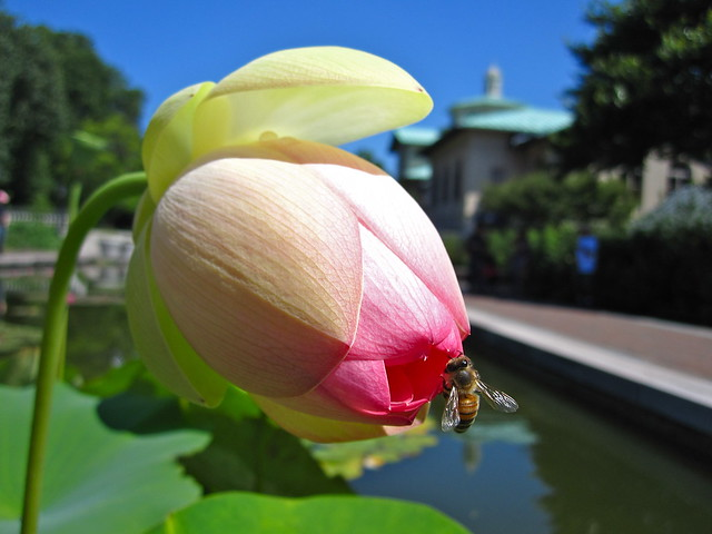 Sacred lotus (Nelumbo nucifera) with a pollinator in the north pool of Lily Pool Terrace. Photo by Rebecca Bullene.