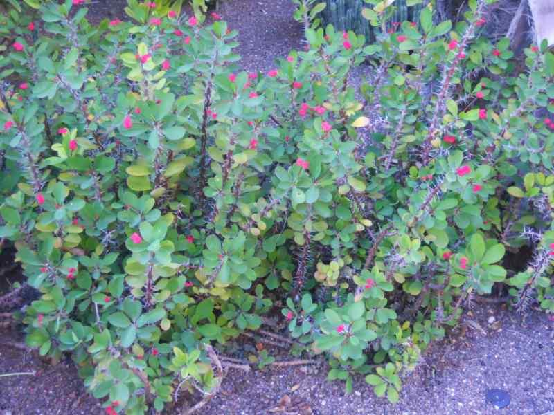 Jardineros en acci n euphorbia milii for Planta decorativa toxica
