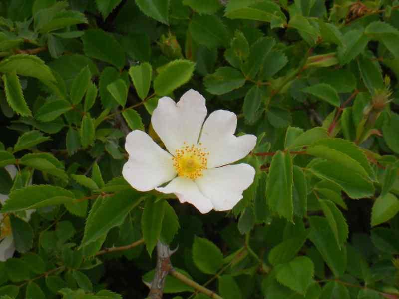 Rosa canina 1