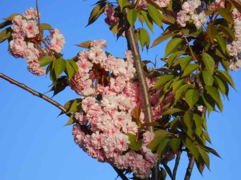 Prunus serrulata 'Kwanzan' 5