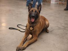 street dog(0.0), formosan mountain dog(0.0), animal(1.0), dog(1.0), pet(1.0), mammal(1.0), belgian shepherd malinois(1.0),