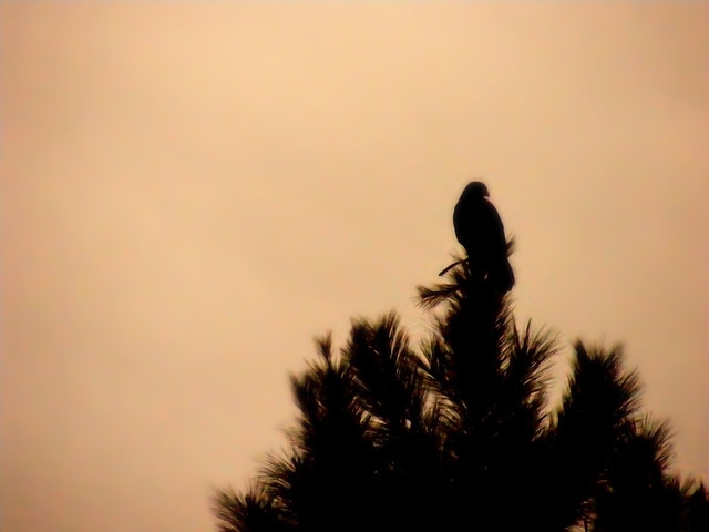 Harris' Hawk in Silhouette
