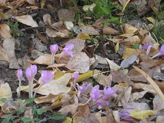 crocus, flower, leaf, plant, wildflower, flora, autumn,