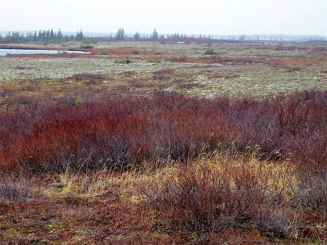 Tundra vegetation   Fl...