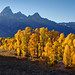Autumn Cottonwood Trees under the Grand Tetons
