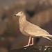 Hvítmáfur (Larus hyperboreus) - Glaucous Gull