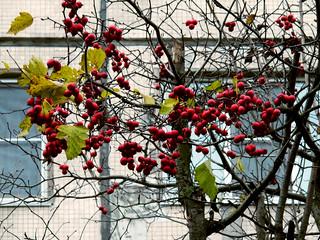 (301/365) Berries