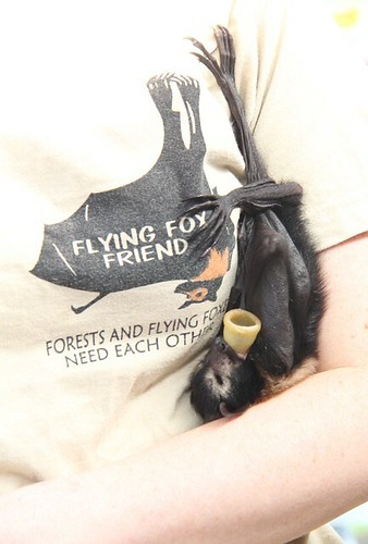 flying fox bub 11