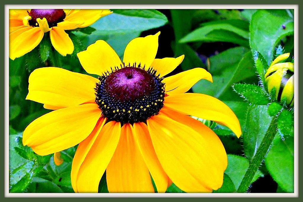 Sunny Flowers for Misty Days...!!!/ Coneflowers-Rudbeckia fulgida/